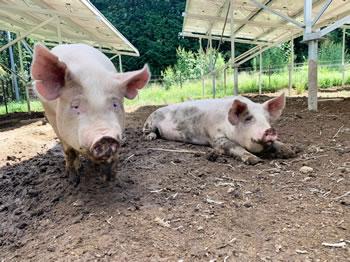 ソーラーシェアリング 豚